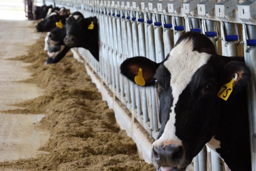 MALVERN HILLS DAIRY showcases a DeLaval robotic milking system, the first of its kind in Kentucky.  Robotic equipment not only milk the cows, they also dispense fee, keep the barn free of manure, and help the Mattingly family work more efficiently.